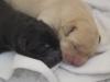 Labrador vom Aggenstein / A-Wurf