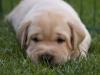 Arthur vom Aggenstein / Labrador-Welpe
