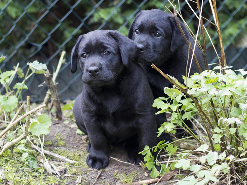 Adam vom Aggenstein / Labrador-Welpe