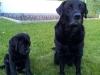 Amadeus vom Aggenstein / Labrador-Welpe